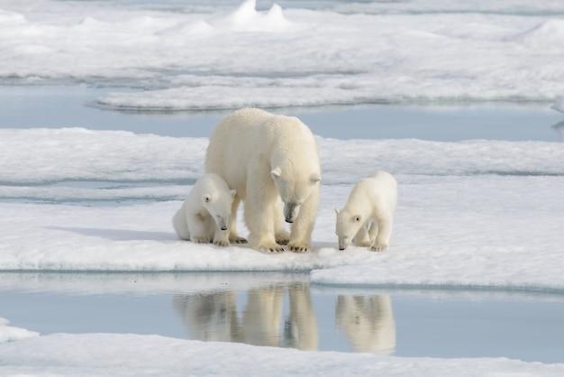 Oso polar salvaje (ursus maritimus) madre y cachorro en la bolsa de hielo