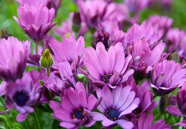 Osteospermum o cape marguerite, margaritas africanas, dimorphotheca ecklonis flores en el jardín de tenerife, islas canarias, españa. fondo floral. enfoque selectivo.