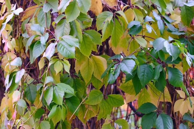 Otoño bodegón boceto tejer uvas decorativas silvestres de cerca