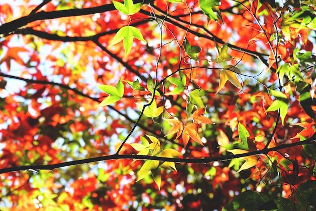 Otoño colorido de la estación del árbol de arce en el bosque con las hojas de arce verdes y rojas