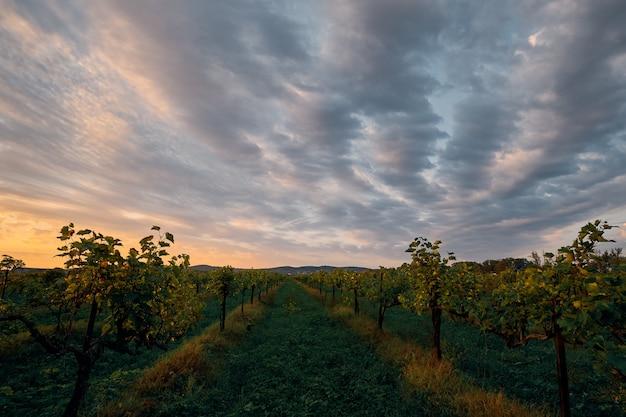 Otoño, temprano en la mañana, los primeros rayos del sol iluminan los viñedos