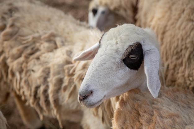 Oveja linda cara de ganado con lana larga