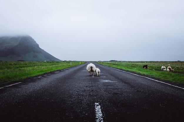 Ovejas en el camino en islandia
