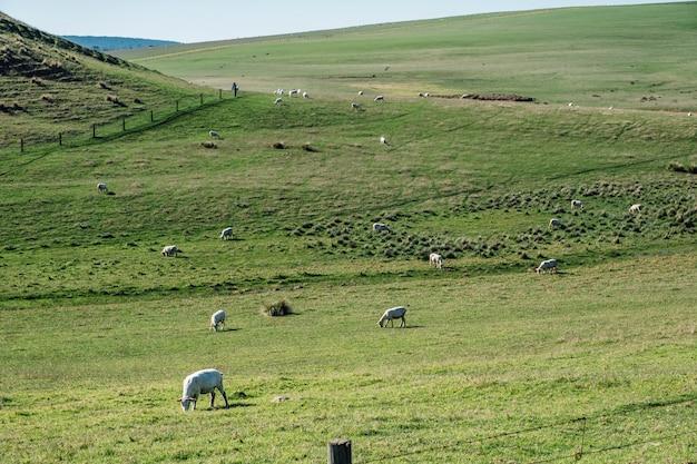 Ovejas en campo de hierba