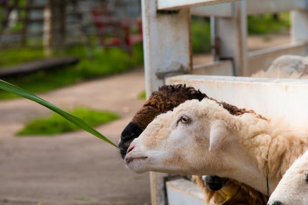 Ovejas comiendo al borde de la valla blanca.