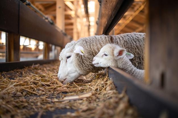 Ovejas y corderito lindo juntos comiendo alimentos orgánicos en la granja.