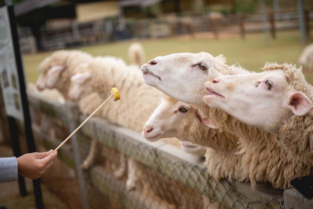 Ovejas en la granja y tener ojos compasivos.