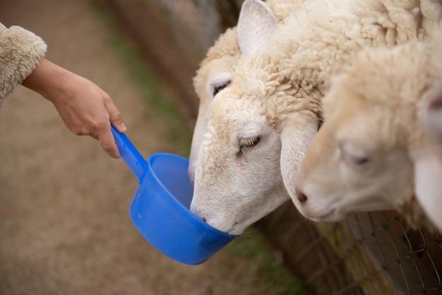 Ovejas en la granja y tener ojos de lástima.