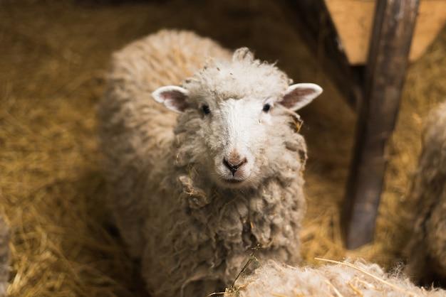Las ovejas hermosas y lindas dentro de la granja comen heno.