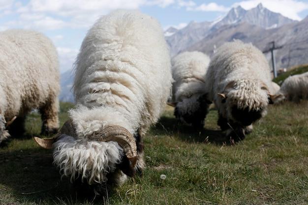 Ovejas lanosas pastando en la montaña