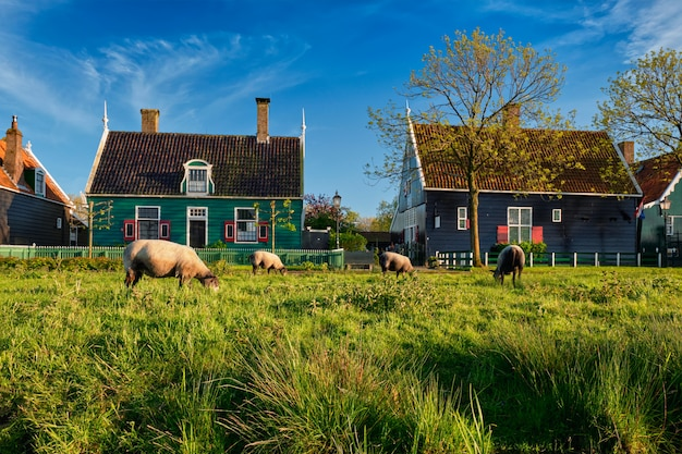 Ovejas pastando cerca de casas de campo en el pueblo museo de zaanse