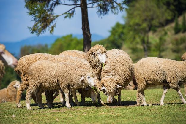 Ovejas en un prado en la granja en un día de verano