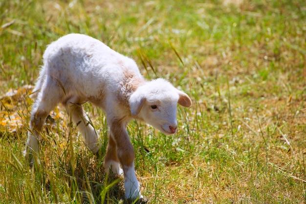Ovejas recién nacidas del cordero del bebé que se colocan en campo de hierba