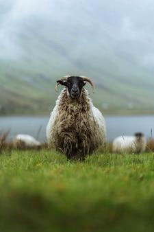 Ovejas scottish blackface en talisker bay en la isla de skye en escocia