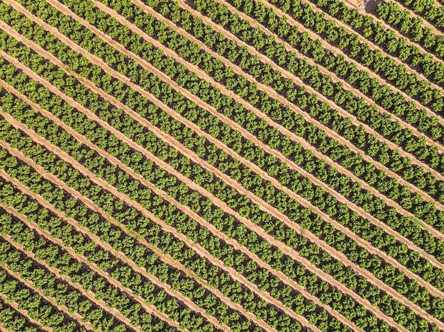 Paisaje agrícola campo cultivado con árboles frutales en filas