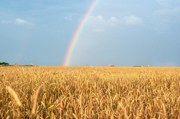 Paisaje con un arco iris después de la lluvia y el campo de trigo con orejas doradas