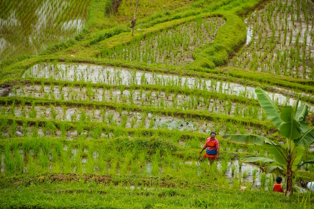 Paisaje de los arrozales de jatiluwih, bali. indonesia