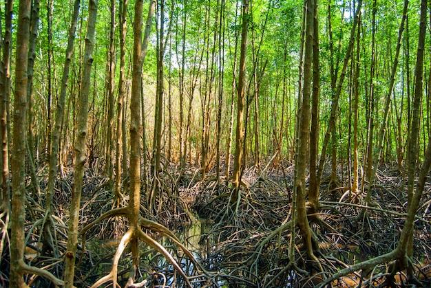 Paisaje de bosque de madera verde de manglar