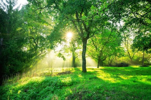 Paisaje de bosque verde al amanecer.