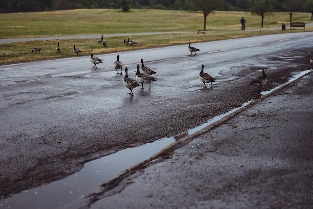 Paisaje campestre, gansos cruzan la carretera