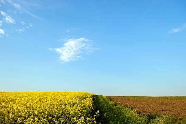 Paisaje con campo agrícola de colza amarillo floreciente y cielo azul claro en primavera.