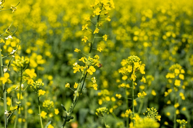 Paisaje de campo floreciente de raps con cielo azul, campos de colza amarillo brillante de colza y néctar para la apicultura