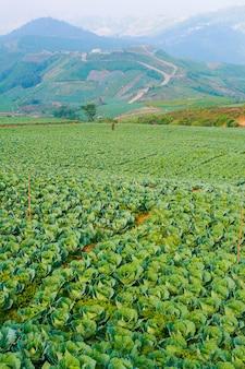 Paisaje de campo de huerto de col