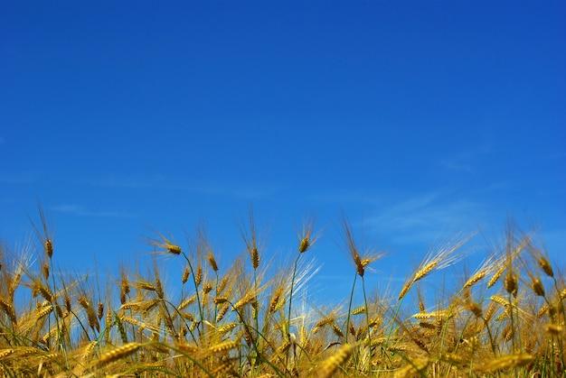 Paisaje de campo de trigo