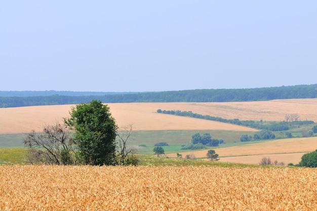 Paisaje de campos de trigo con árboles y bosque detrás y cielo azul arriba en día claro soleado de verano