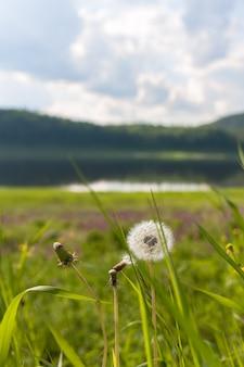 Paisaje con diente de león. río tunguska territorio de krasnoyarsk.