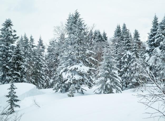 Paisaje encantador del invierno con los abetos cubiertos con nieve en una montaña del invierno.