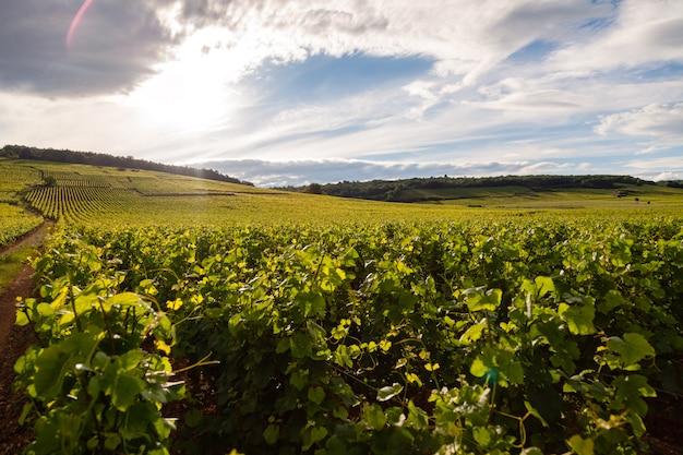 Paisaje escénico del viñedo
