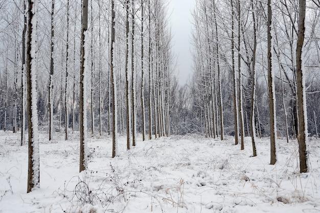 Paisaje invernal, árboles en el bosque en una fila cubierta de nieve