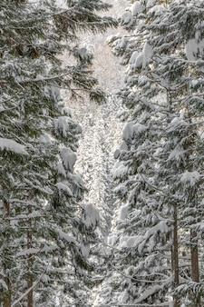 Paisaje invernal del bosque de pinos
