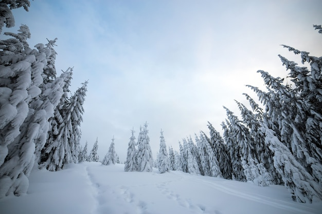 Paisaje invernal cambiante con bosque de abetos encogido con nieve blanca en las frías montañas congeladas.
