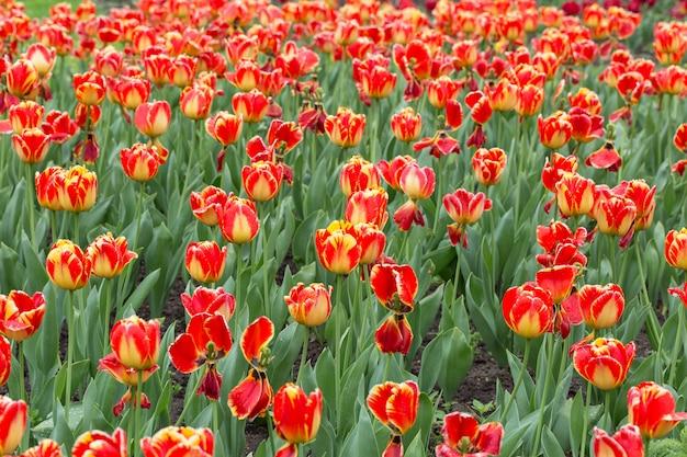 Un paisaje mágico con salida del sol sobre el campo de tulipanes en los países bajos