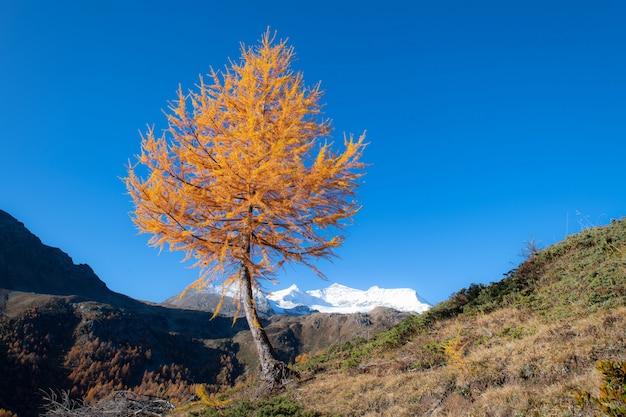 Paisaje otoñal de altas montañas con un alerce de color dorado y un glaciar en el fondo
