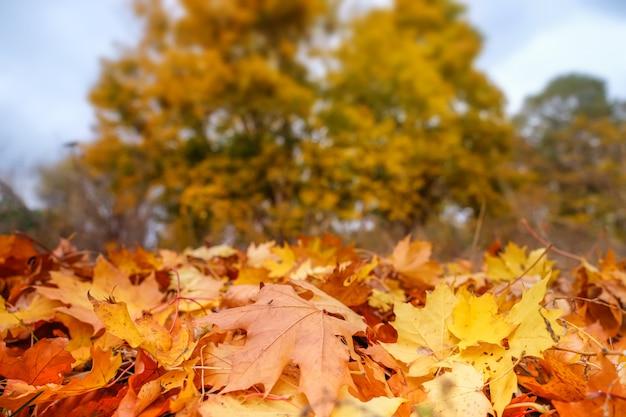 Paisaje de otoño con árboles amarillos y follaje en el suelo en el parque.