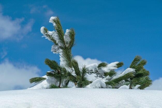 Paisaje con pino de montaña en la nieve en un día soleado.
