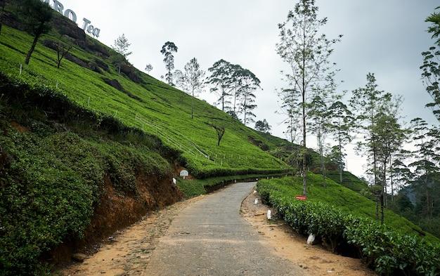 Paisaje de plantaciones de té de lipton