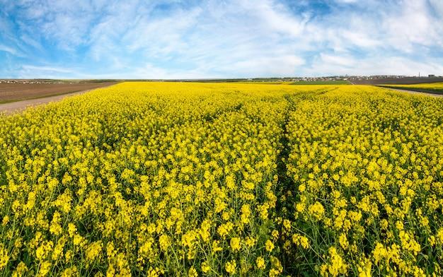Paisaje de primavera del campo de violación con sendero en flor bajo el cielo azul, vista superior