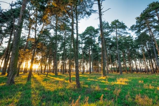 Paisaje de primavera con pinos al atardecer