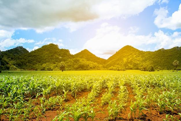 Paisaje rural, colinas y granja de maíz al atardecer con luz cálida en tailandia