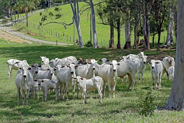Paisaje rural con ganado nelore, arboles y casas.