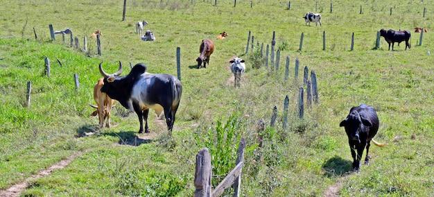 Paisaje rural con vacas, toro y valla.