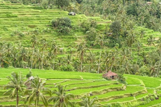Paisaje tropical palmeras verdes archivadas terrazas de arroz