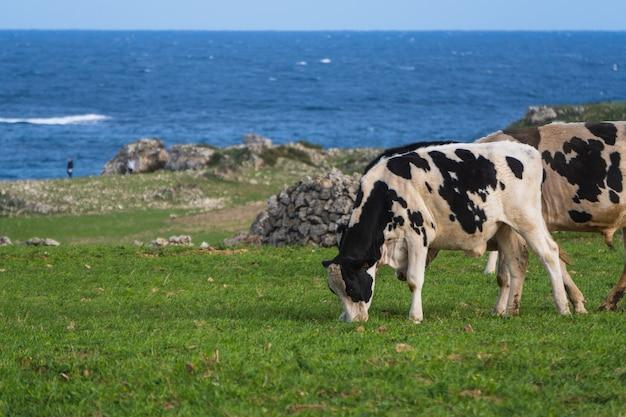 Paisaje de vacas en blanco y negro que pastan en una pastura cerca del mar