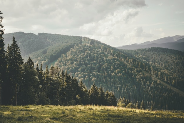 Paisaje de verano de montaña. cinturón forestal con árboles altos en el contexto de montañas verdes. descansa y reinicia en las montañas. foto de alta calidad