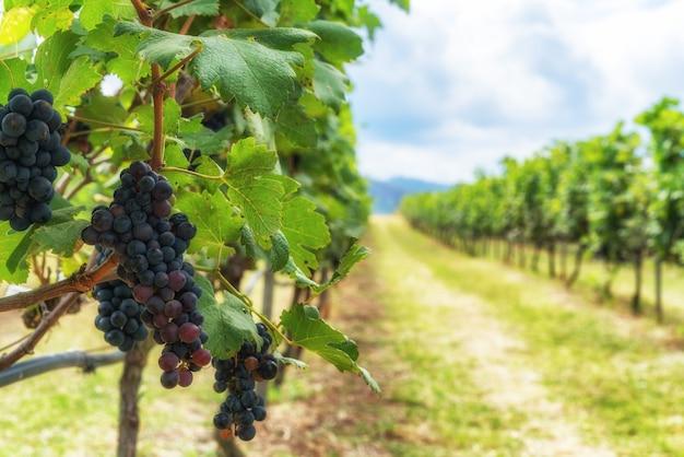 Paisaje de viñedos y uvas en francia