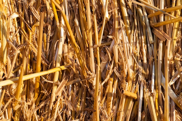 Paja de paja amarilla fuertemente unida después de cosechar el grano, utilizada para la cría de animales, primeros planos y detalles de la actividad agrícola
